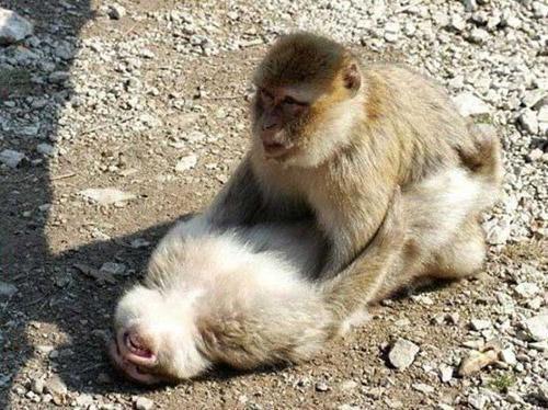 Забудьте о нежной любви, - обезьяны подвержены резким перепадам настроения...